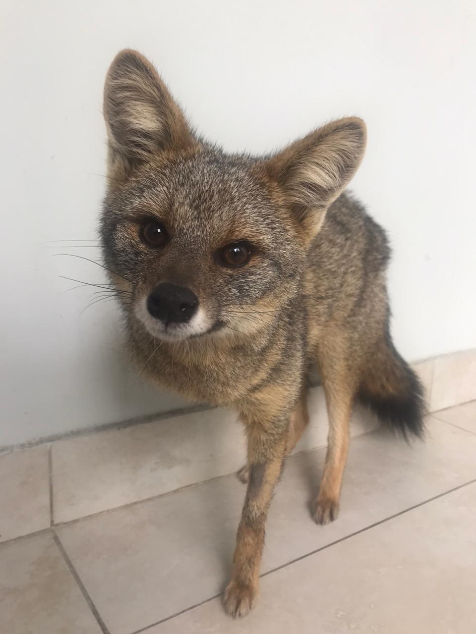 Barbacena: raposa atropelada por trem está se recuperando
