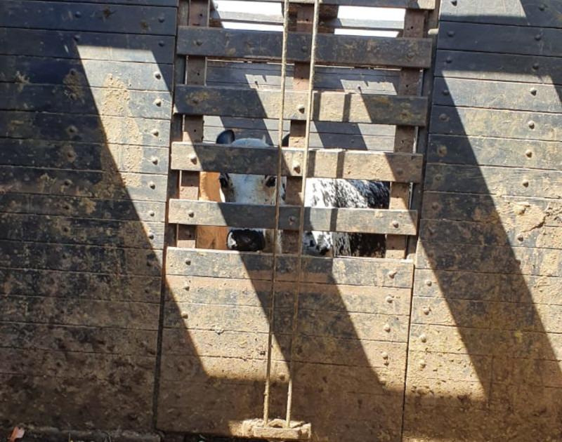 Entre Rios de Minas: Polícia Civil recupera gado furtado